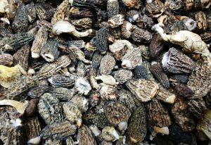 Morels - Wild Edible Mushroom Season