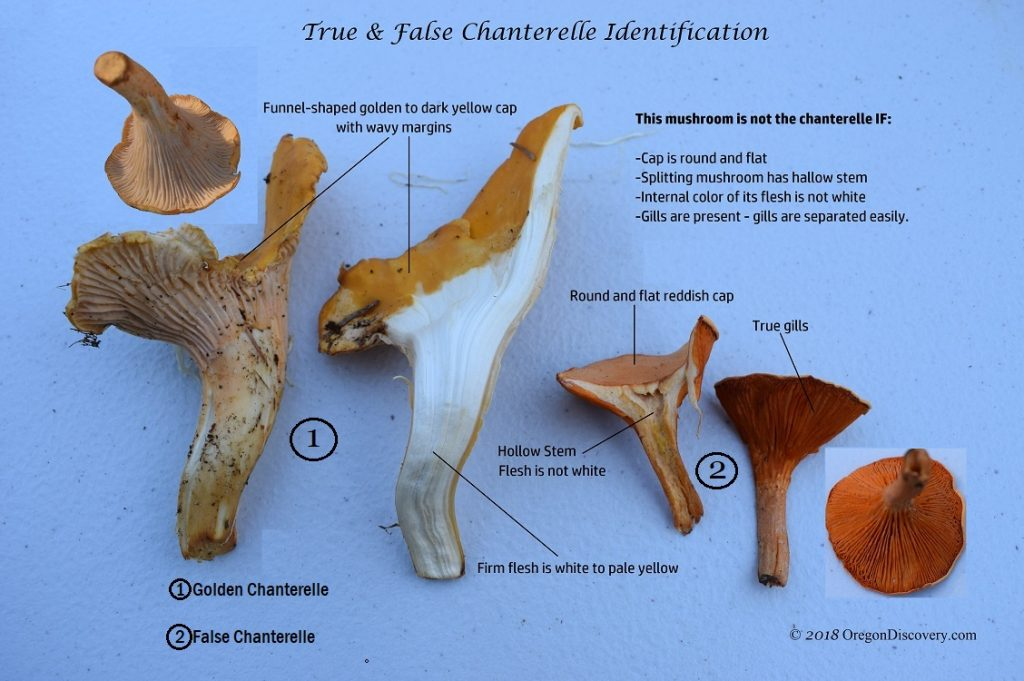Chanterelle Identification - False Chanterelle