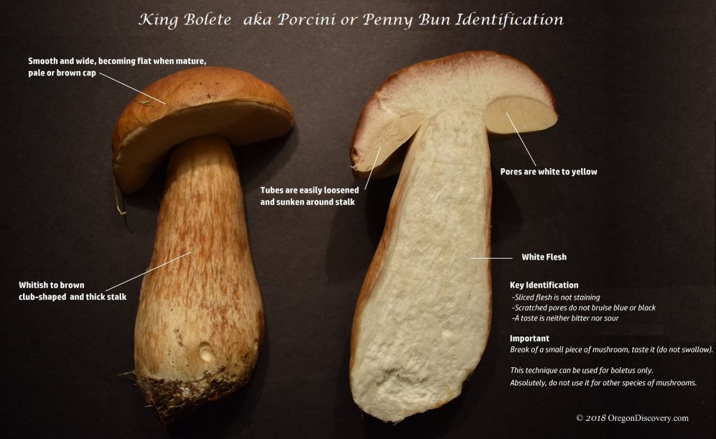 King Bolete | Porcini Key Identification