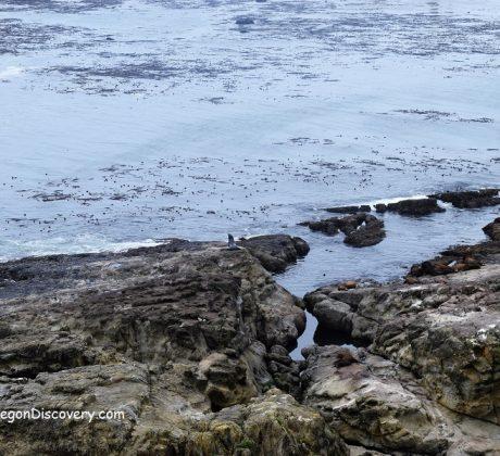 Simpson Reef - Cape Arago